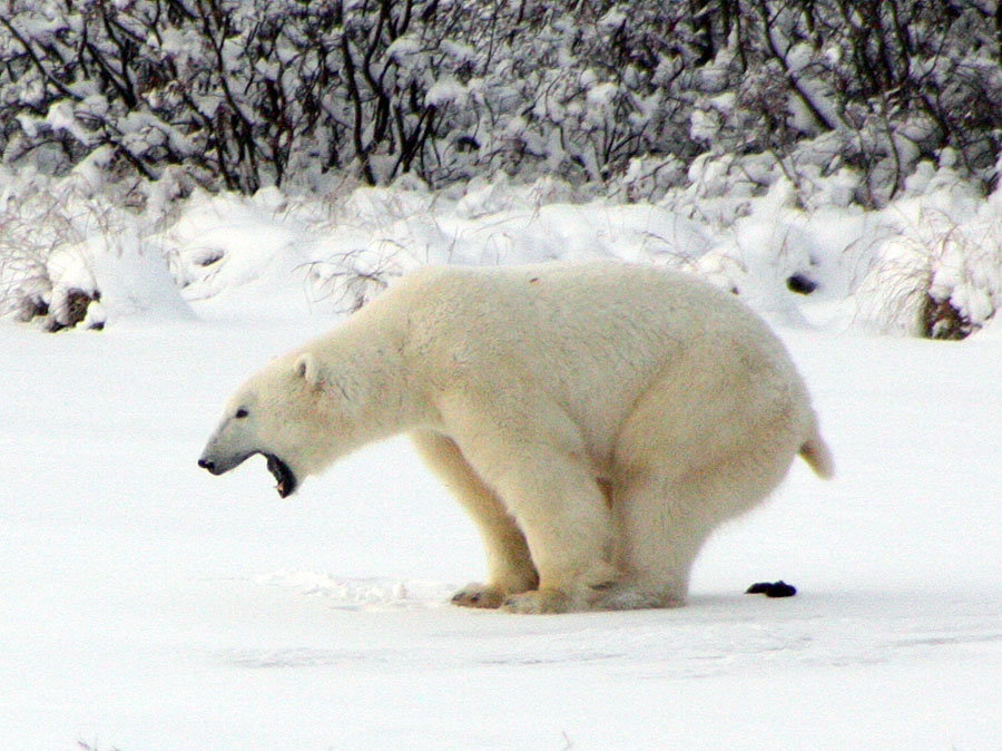 Ten dire polar bear predictions that have failed as global population hits 20-31k